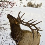 Bull elk with rack