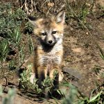 FoxPup_DSC421006-06-08
